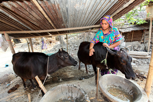 A woman feeding her livestock in Jessore, Bangladesh. Photo by M. Yousuf Tushar. 4271