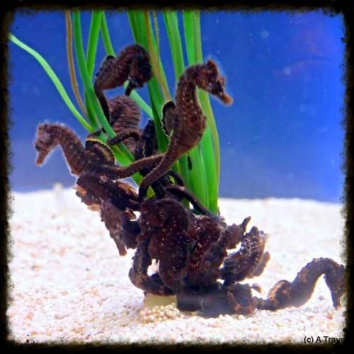 asz seahorse