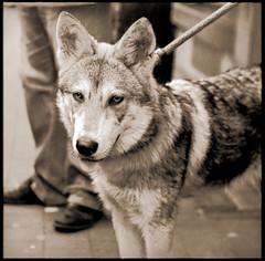 #22 Wolf Dog