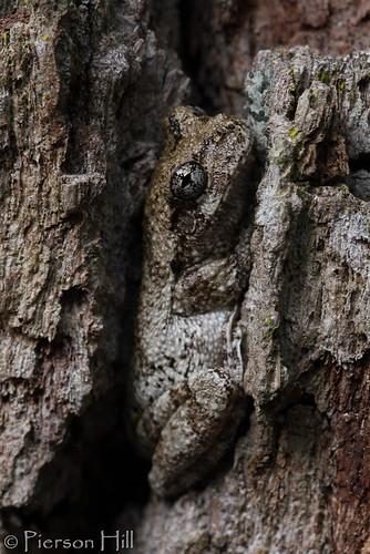 Gray Treefrog (Hyla chrysoscelis)