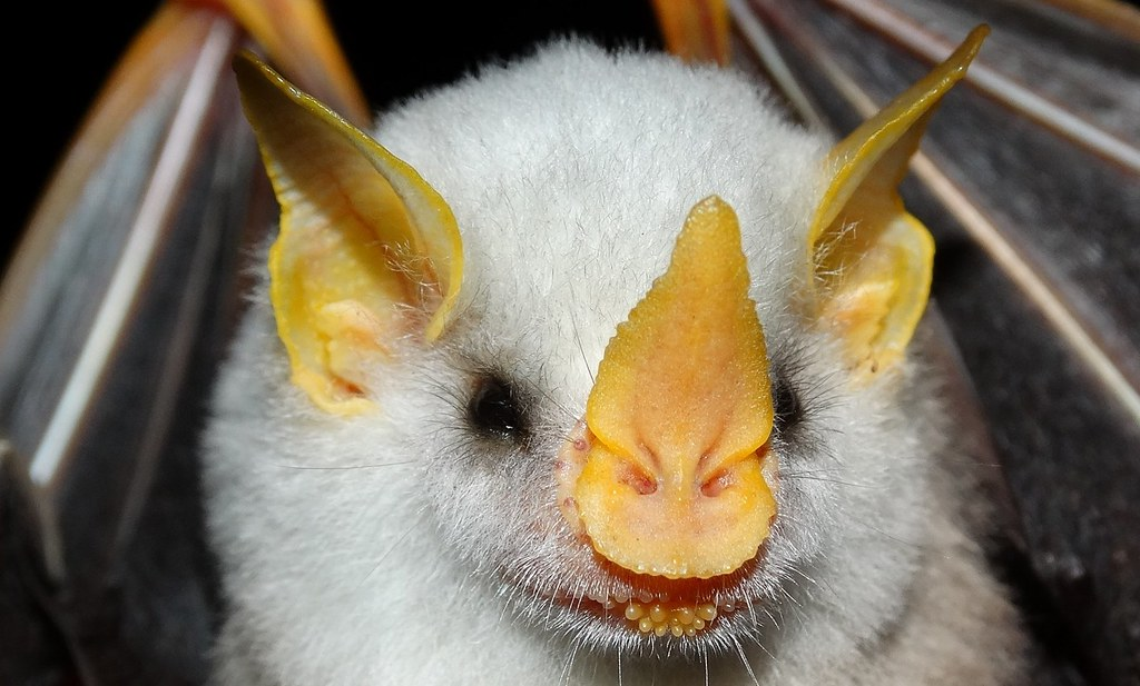 Honduran White Bat