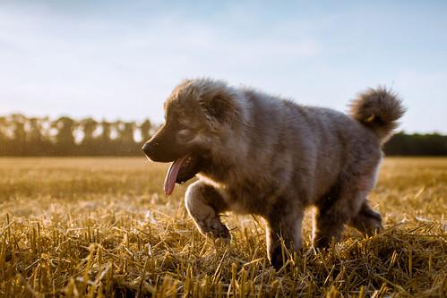 Caucasian Ovcharka pup