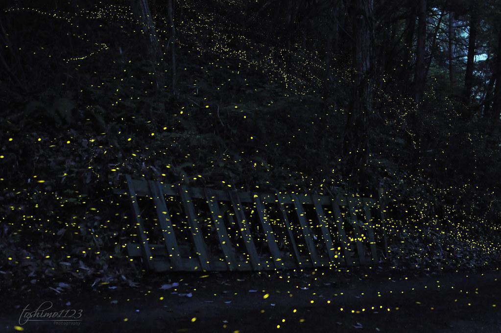 Firefly (蛍)