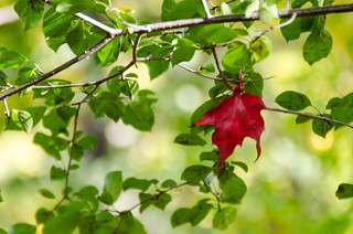 Red Maple Leaf, Riverwood Park
