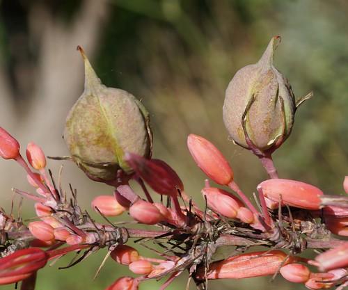 Hesperaloe parviflora 15408775647_74b5c5121b