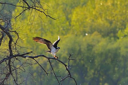 An Osprey Story