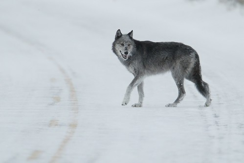 Wolf | by Oregon State University