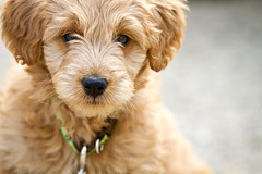 This is Jackson !  He's one of Chewy's and Gracie's !! | by Doodle Country Minis