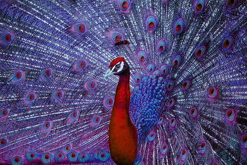 PEACOCK 4 | by SpixPix