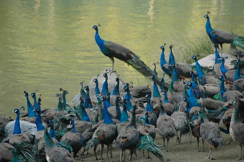 An Ostentation of Peacocks | by becklectic