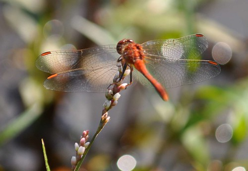 Red Dragonfly | by Xtoffa