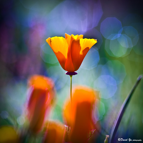 California poppy | by davidyuweb