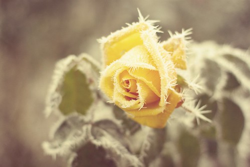 frozen rose | by tolly p