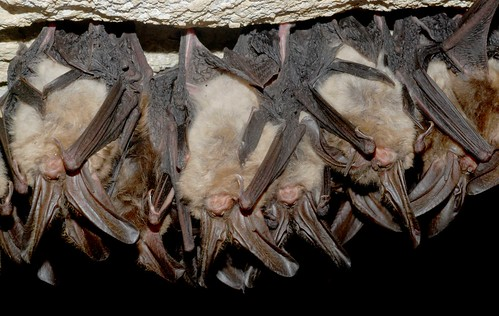 Healthy Virginia big-eared bats | by U. S. Fish and Wildlife Service - Northeast Region
