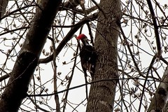 Pileated Woodpecker | by DME2010