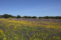 Wild-flowers-of-the-Alentejo-3329 | by Paradise in Portugal