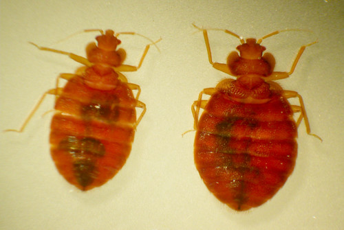 bedbugs | by Oldmaison