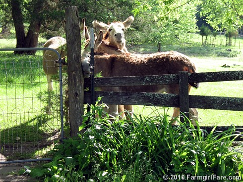 Donkettes 1 | by Farmgirl Susan
