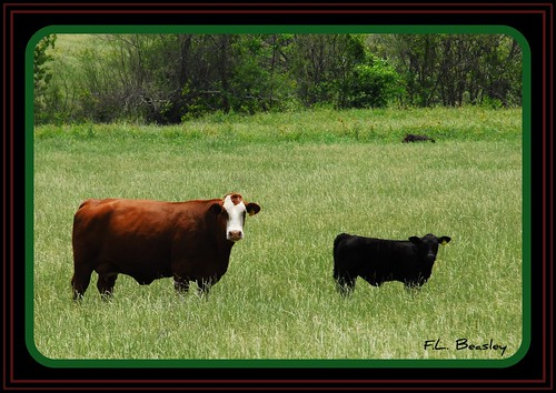 Cow & Calf Belly Deep in Spring Grass | by feltonbeasley