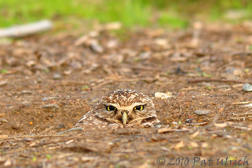 Camouflaged burrowing owl (2of2) | by Pat Ulrich