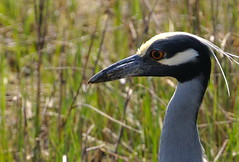 Yellow-Crowned Night-Heron #2 | by ByTheChesapeakeBay