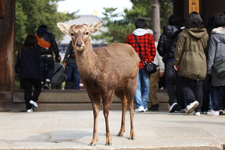 A wild deer in the temple | by Teruhide Tomori