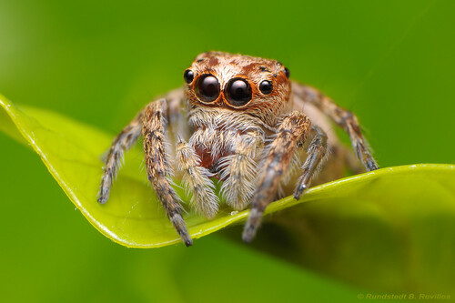 Jumping spider | by Rundstedt B. Rovillos