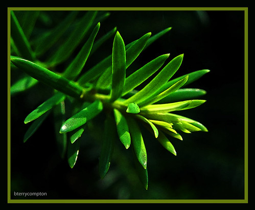 DSCN5837_1_72 - Evergreen Needles | by BTerryComptonPhotography