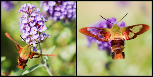 hummingbird clearwing moth | by ecphotographic