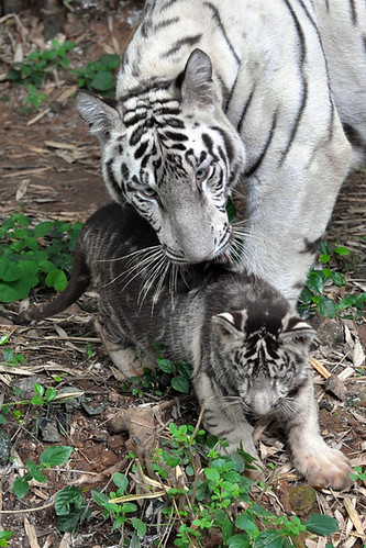 GENETICALLY DIFFERENT COLOURED WHITE TIGER CUB | by vijvijvij