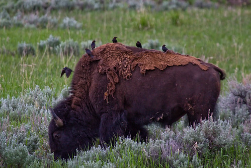 Molting Bison | by txcraig75