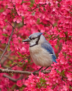Blue Jay in Blooming Crabapple | by Jerry Acton