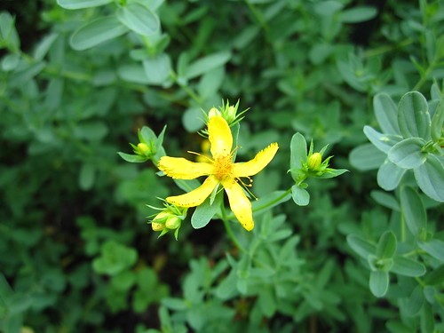Hypericum perforatum | by Brooklyn Botanic Garden