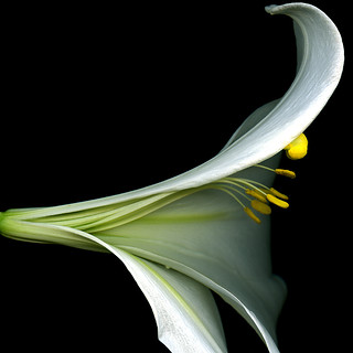 FLOWER SCULPTURE, Lilium longiflorum | by magda indigo