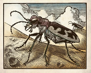 Big Sand Tiger Beetle Woodcut (color mock-up) | by Thomas Shahan 2