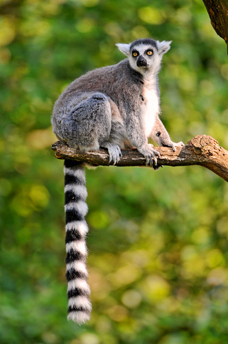 Lemur on the branch | by Tambako the Jaguar