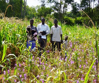 Striga-infested maize plants | by IITA Image Library