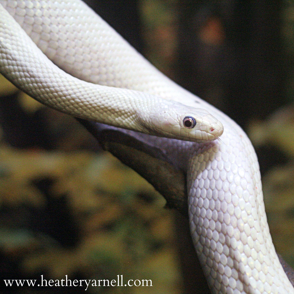 Albino Black Rat Snake