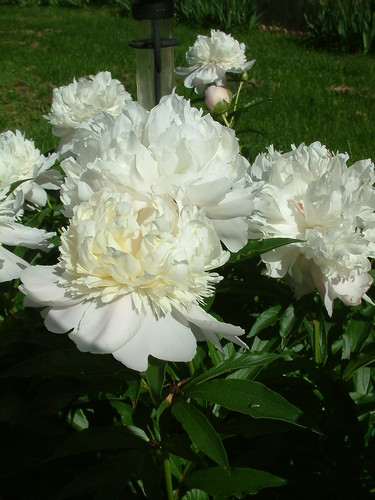 Peonies 2010 9 | by whitebuffalobk