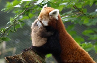 Chester Zoo - Red Panda Baby | by Romeoliverpool