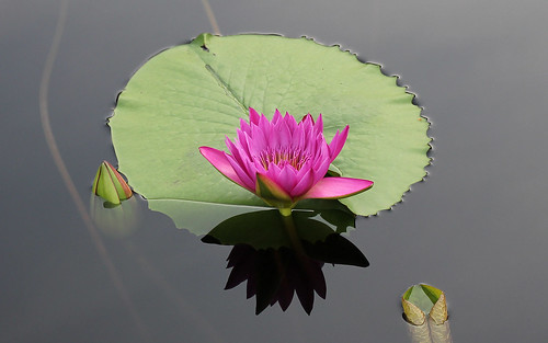 Pink Waterlily 1920x1200 | by John Frattura