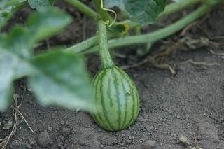 Tiny fuzzy melon Barb Dorsey Flickr