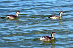 Hoary-Headed Grebes
