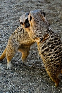 Meerkats | by Potter Park Zoo