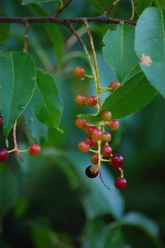Black Cherry fruit | by sheryl2010