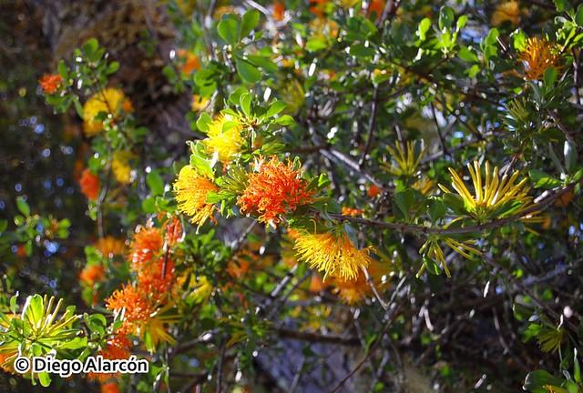 Quintral amarillo, Desmaria mutabilis