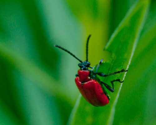 the return of the red lily beetle | by Hazy Days