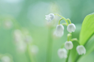 Lily Of The Valley | by AlexEdg