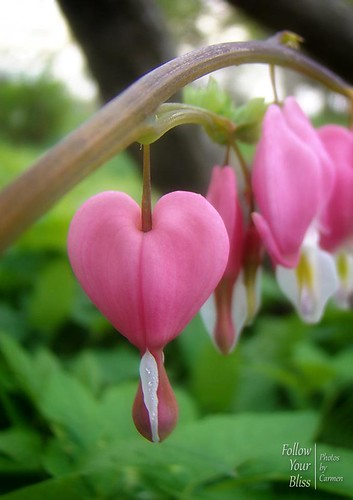 Bleeding Hearts | by Finding Carmen