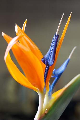 strelitzia | by julesberry2001